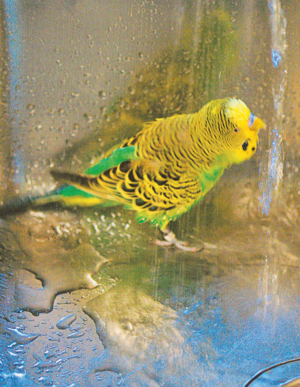 Room Temperature For Budgies
