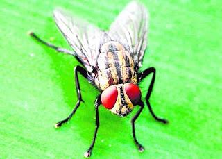 Sekotor lalat pun boleh jadi ubat