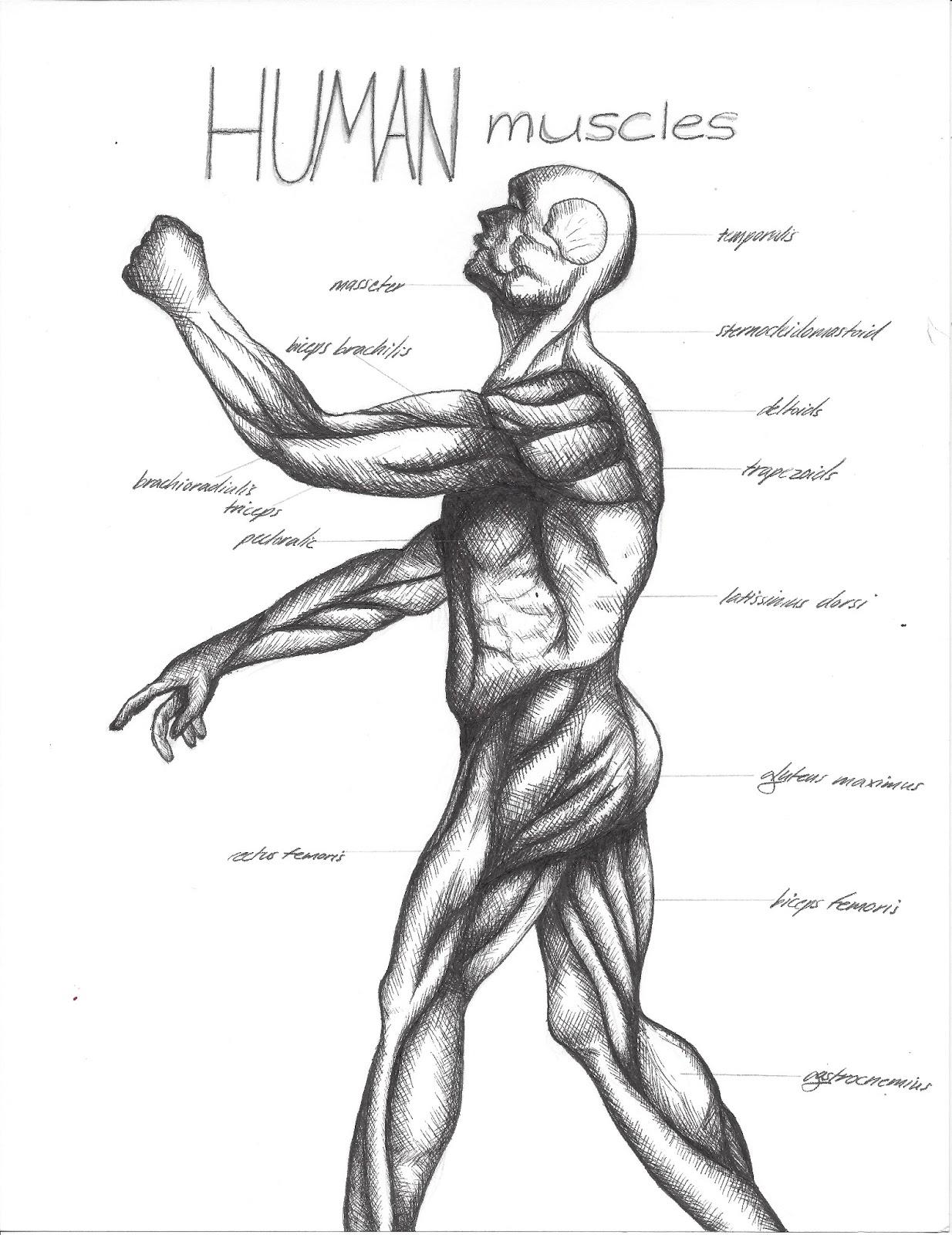 Muscular System Drawing More Information Kopihijau