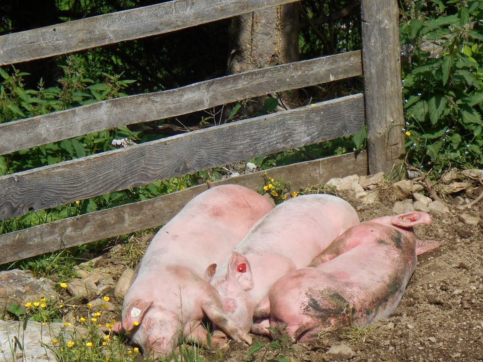 Vita ... da porci