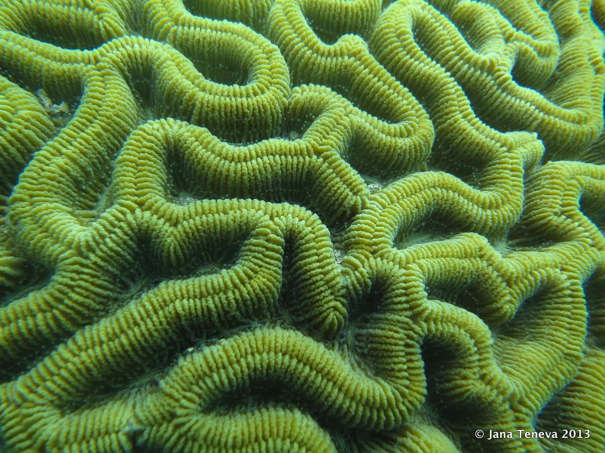 Brain coral details, les Saintes, Guadeloupe