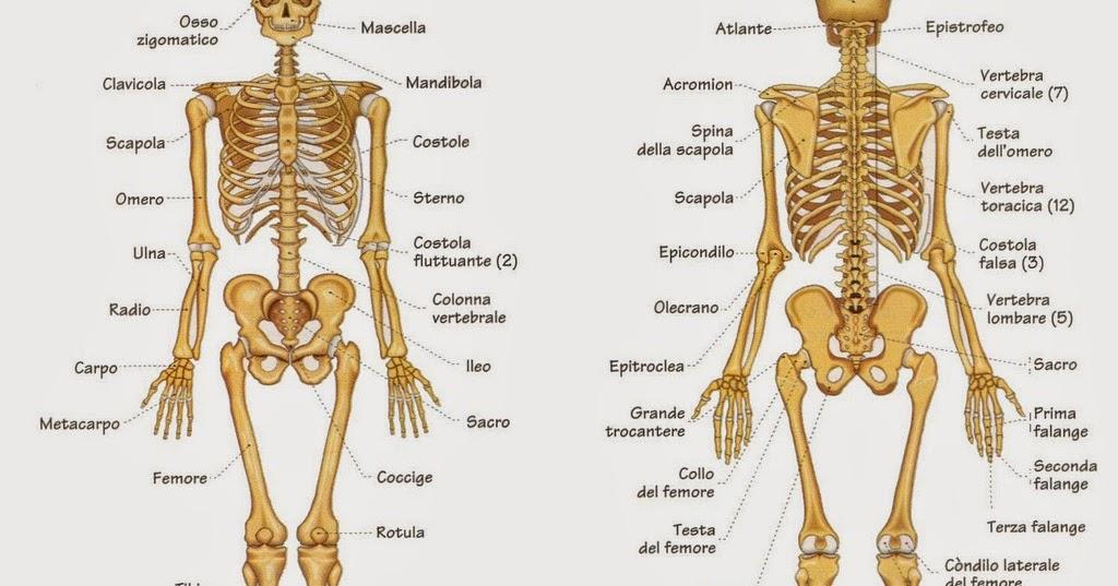 Struttura delle ossa del corpo umano - Scheletro foglio da colorare ...