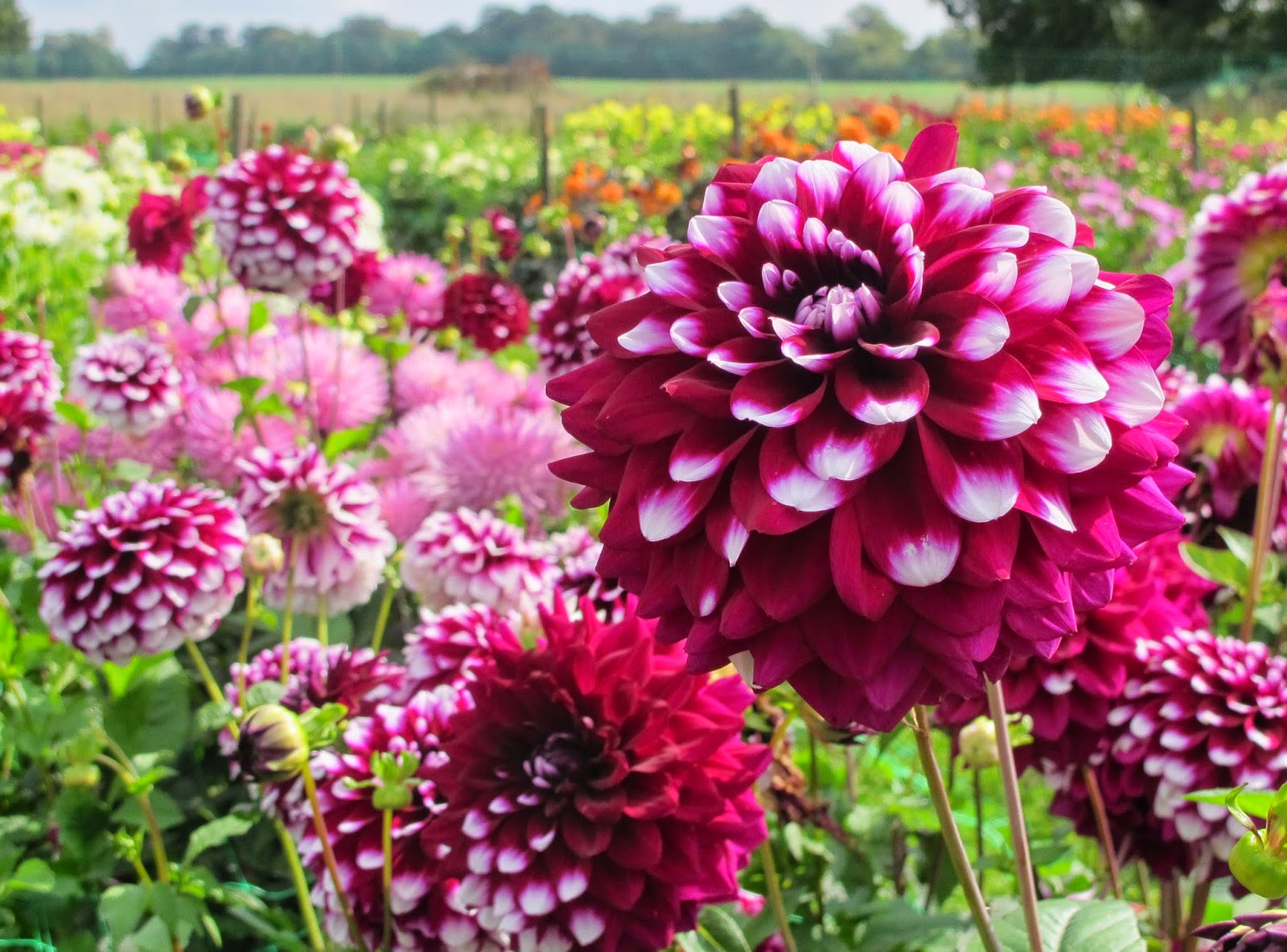 Flowers by shamini withypitts dahlias the flower field after admiring gorgeous flowers on twitter for the best part of a year i went to the open day at richard and hazel ramseys dahlia field izmirmasajfo