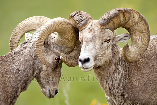 'Bighorn Brotherhood' (c) John Ashley