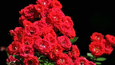 Red-roses-romantic-love-walls-oic2560x1440