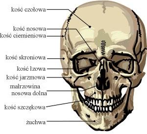 czaszka człowieka rzut czołowy