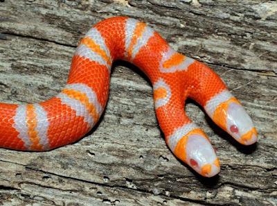Amazing two headed albino Honduran milk snake