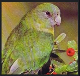 lovebird madagascar