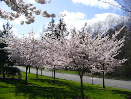 Flowering Springtime Trees
