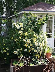 Ljuvliga rosen 'Aïcha'