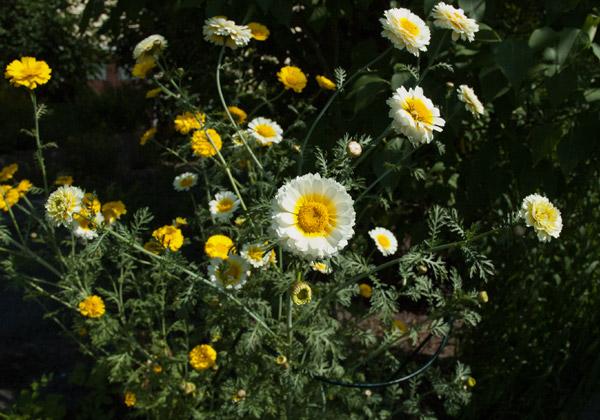 Kranskragar som blommar i olika gula nyanser.