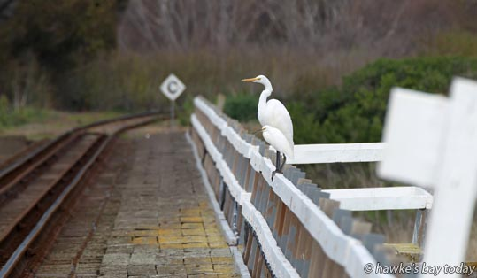 Two of four white heron, kotuku, 3 adults and a juvenile, in the lagoon and on the railway bridge over Tutaekuri River, SH2, Awatoto, Napier photograph
