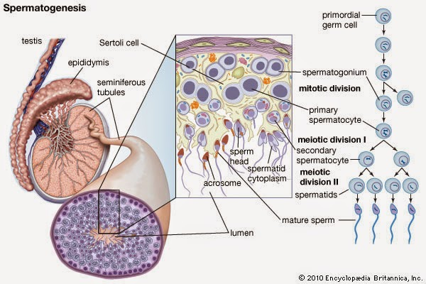 Dr sherazi foundation spermatogenesis the sertoli cells themselves mediate parts of spermatogenesis through hormone production they are capable of producing the hormones estradiol and inhibin ccuart Image collections