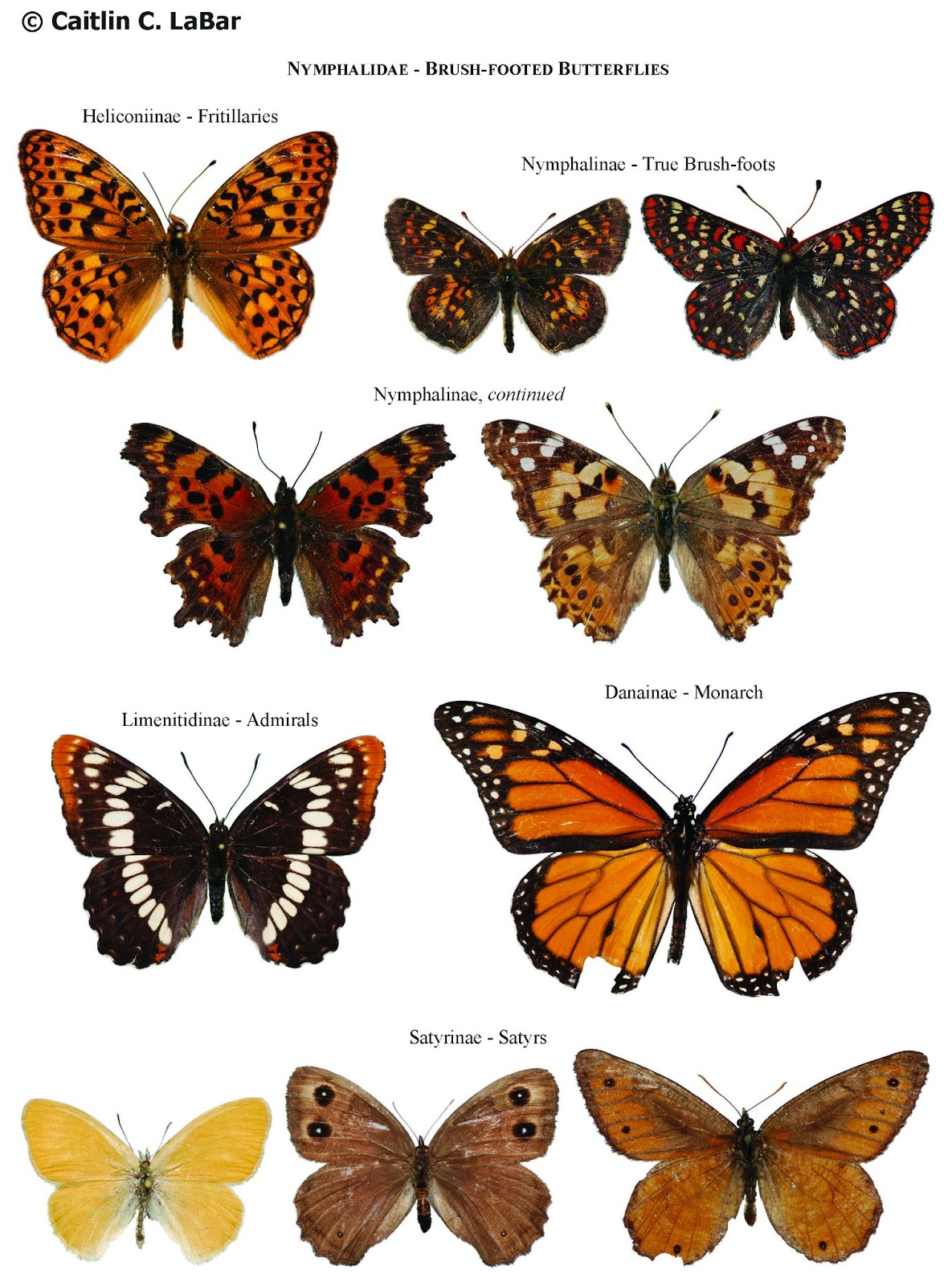 Butterfly species list with pictures - photo#22