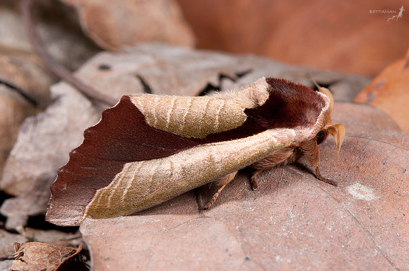 Bug that looks like a leaf with wings 11
