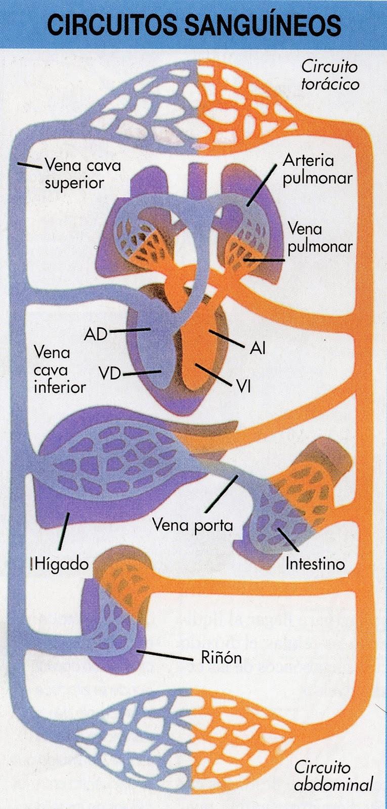 Circuito Sanguineo : Los circuitos sistÉmicos y pulmonar minienciclopedia estudiantil