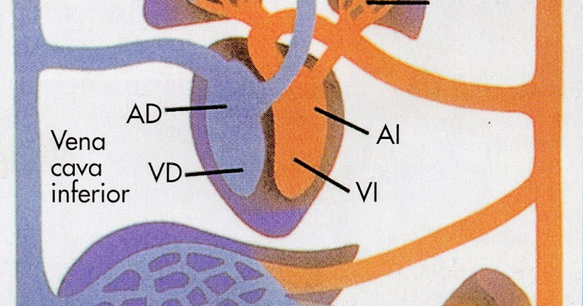 Circuito Mayor : Los circuitos sistÉmicos y pulmonar
