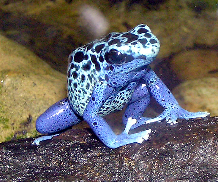 poison dart frog Found mostly in central america and puerto rico, the 1 inch long strawberry  poison dart frog is a small frog with a plump body and thin limbs in its common.