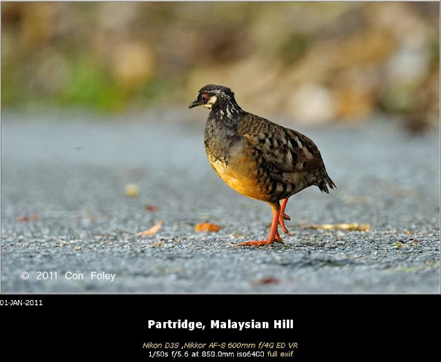 Malaysian Hill Partrige by Con Foley