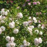 Ruusuretki Päivölään