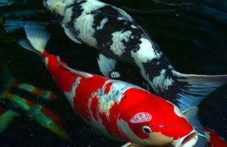 Nama Ikan Hias Air Tawar dan Gambarnya