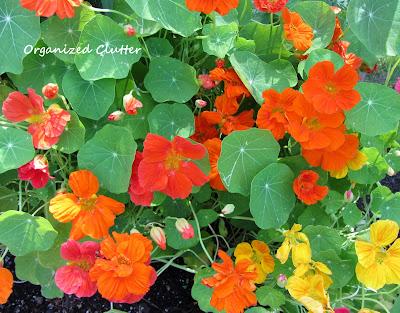Cottage Garden - Nasturium