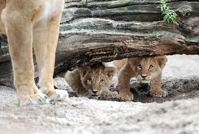 Baby Lion - Do You Think Mom Will Find Us