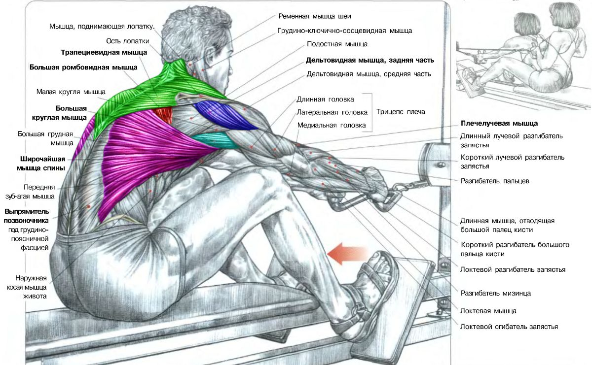 пауэрлифтинг мышцы