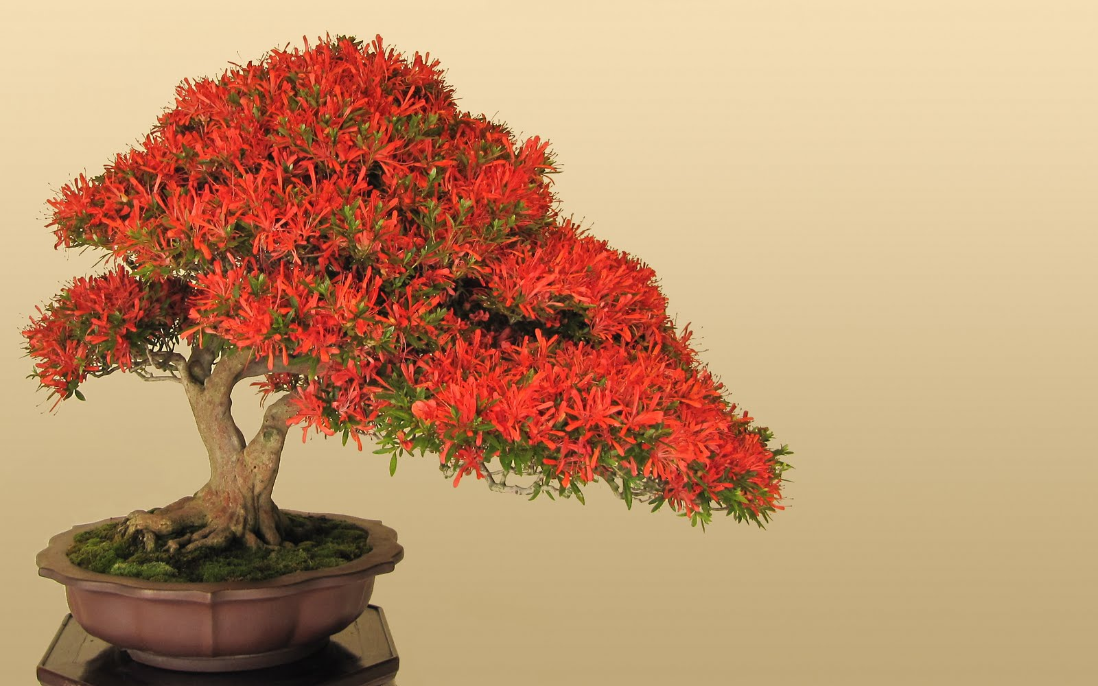 bonsai japan tree art hd wallpapers stock photos desktop