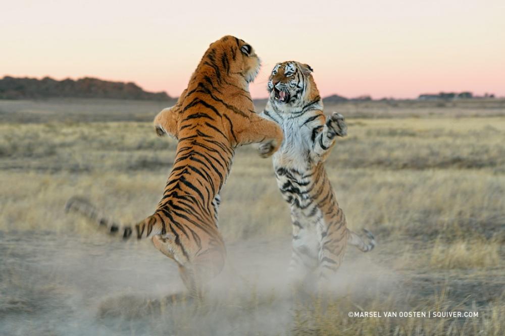 Красивые фото тигров (14 фото)