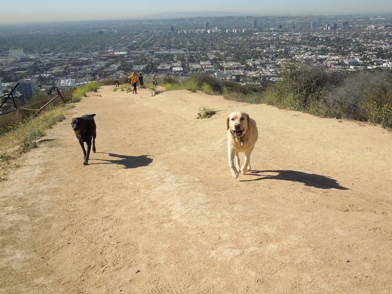 Labradors chasing balls Runyon Canyon