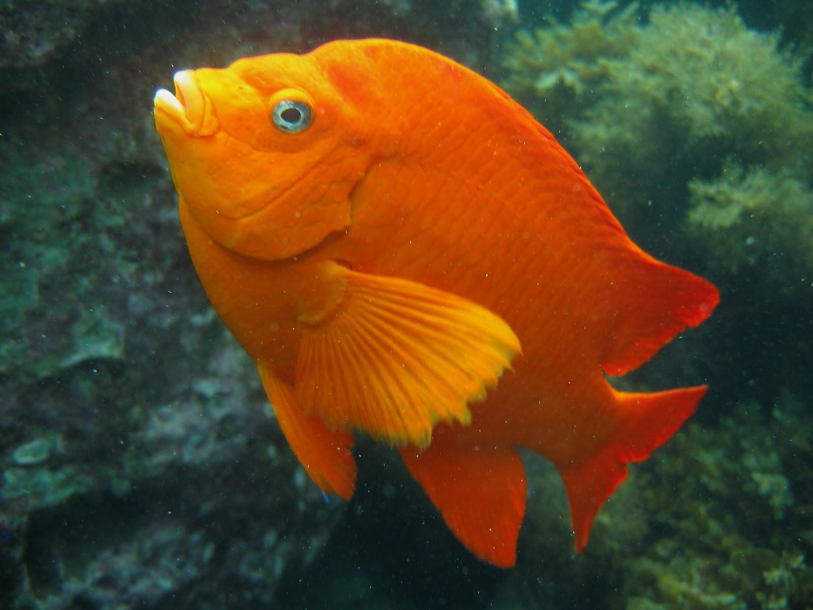 Daily Underwater Photo Garibaldi Hypsypops Rubicundus