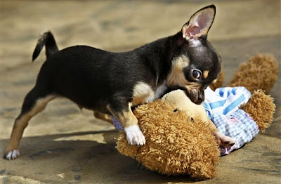 Chihuahua-Training-Guidelines