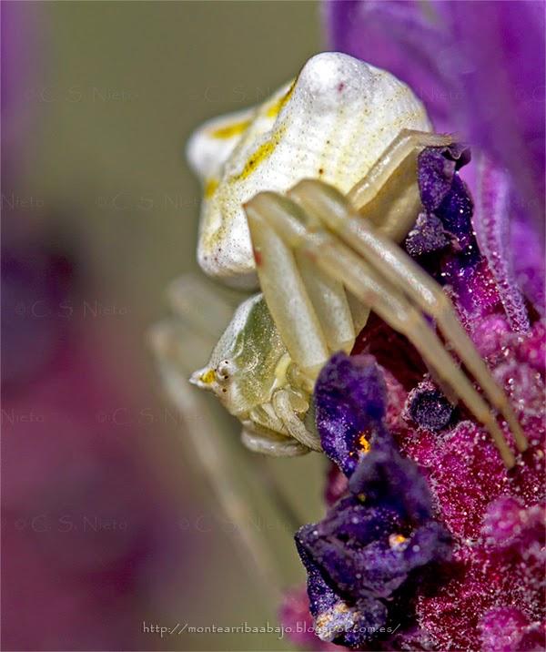 Detalle de una araña cangrejo de color blanco.