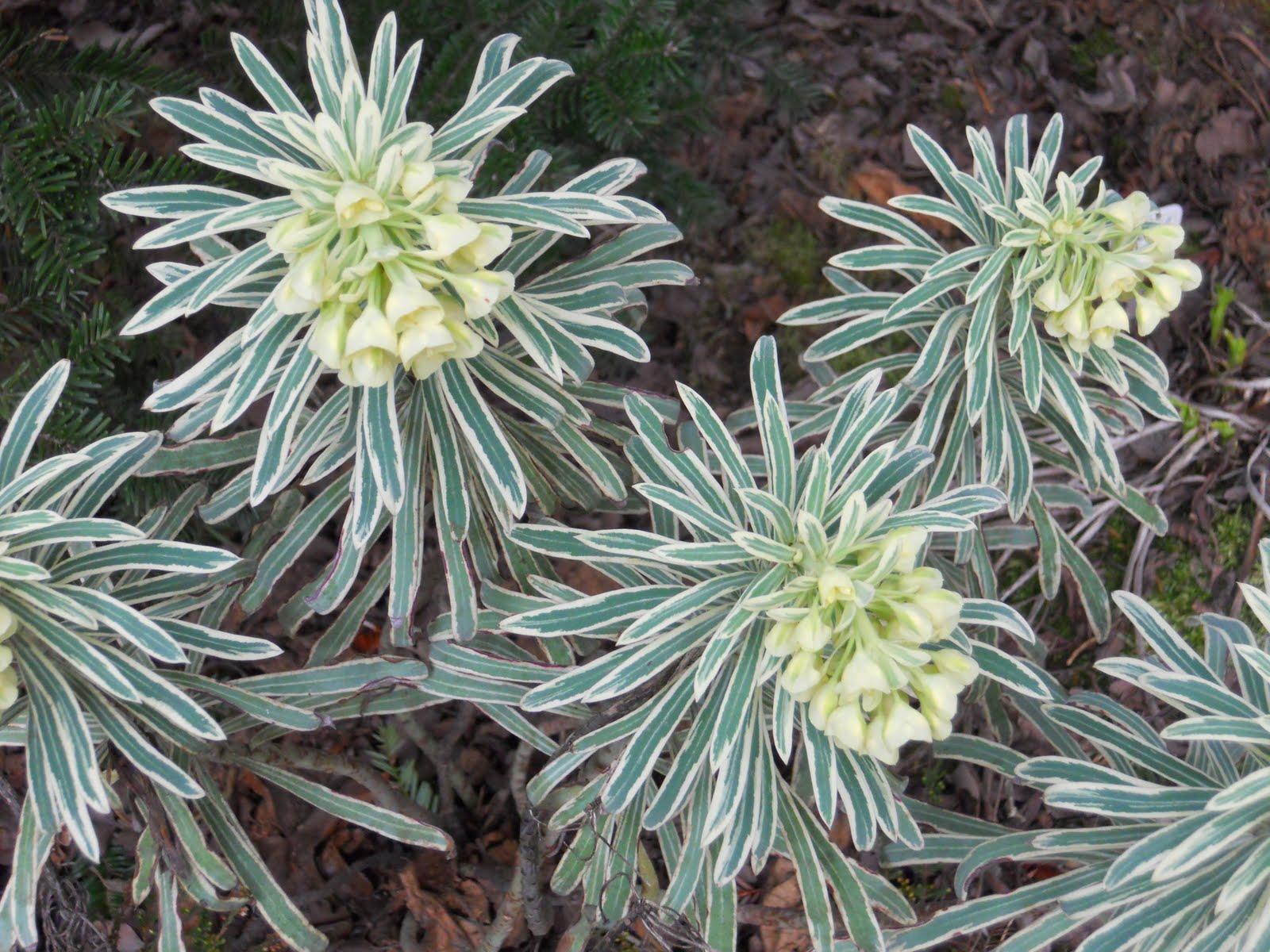 euphorbe characias glacier blue