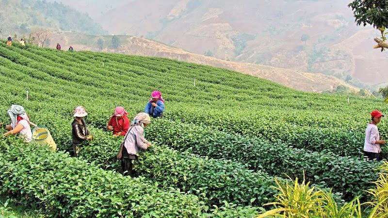 Tee Plantage Santikhiri