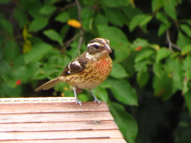 rose-breasted grosbeak on birdhouse