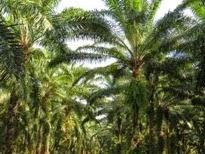 La vertiginosa expansión de la palma africana