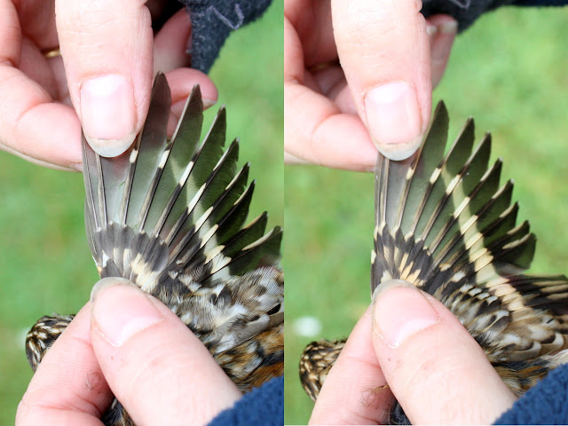Adult and second calendar year Treecreeper wing