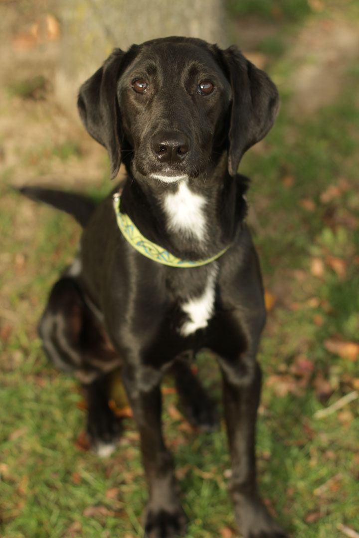Enzo - Labrador Retriever Pointer mix