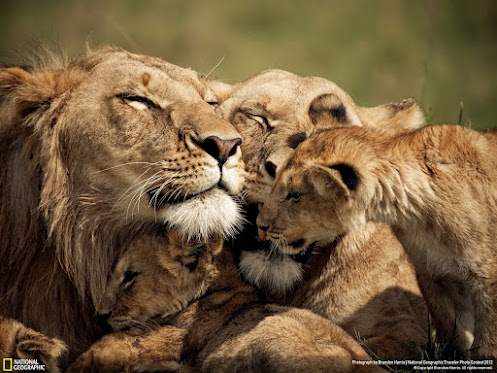 Image result for lovable big cat gifs