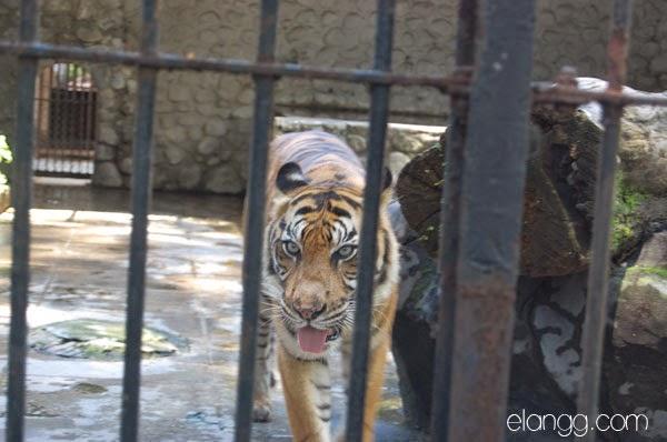 harimau, kebun binatang surabaya