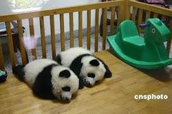 Panda babies
