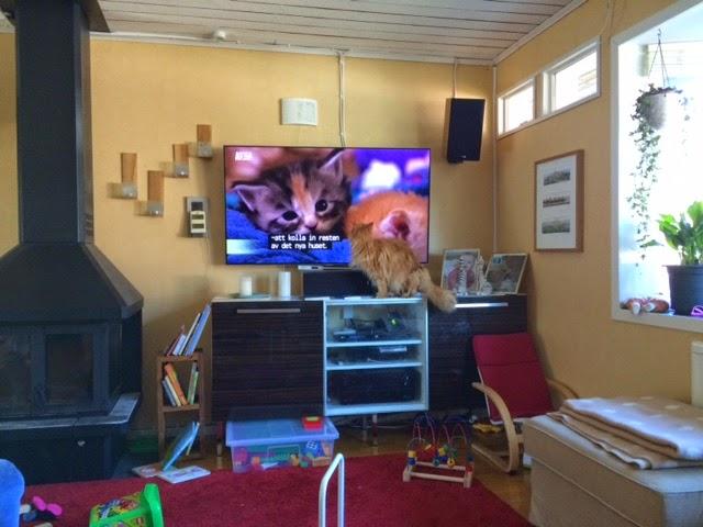 Zammy letar efter Maine Coonerna i TV:n