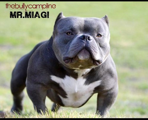 American Bully Mr_ Miyagi http://bluepitbullpups.blogspot.com/2012/10/exotic-bullies-in-americas.html