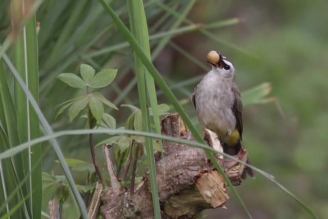Burung Merbah Kapur sedang makan Buah Cheri