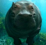 Foto del hipopótamo bajo el agua
