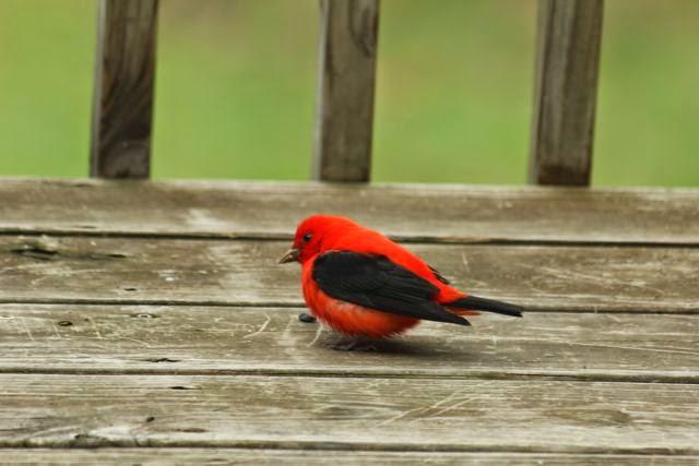 scarlet tanager eating seeds on deck