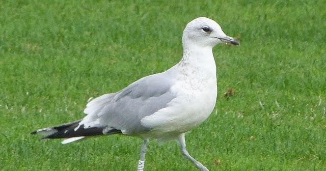 Gull Leg Ring Identification Uk