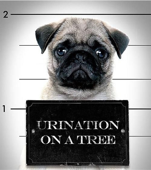 Urination On A Tree - funny Pug